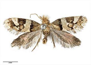 <i>Sabatinca</i> Genus of moths in family Micropterigidae