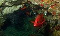 Sabre Squirrelfish (Sargocentron spiniferum) (8506996397).jpg
