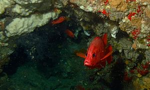 Sabre Squirrelfish (Sargocentron spiniferum) (8506996397).jpg