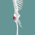 Sacrum - lateral view02.png