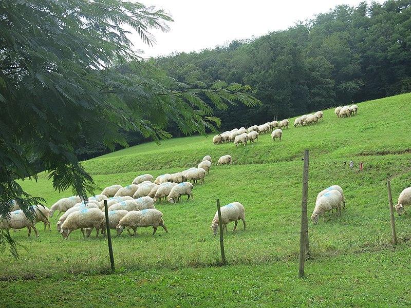 Sheep in Saint-Étienne-de-Baïgorry (Pyrénées-Atlantiques, France).