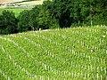 Saint-Lanne Vignoble de l'AOC pacherenc-du-vic-bilh.JPG