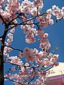 Saint Petersburg. Chinese Garden. Sakura tree2014 11.jpg