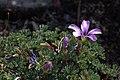 Salix 'Boydii' 02.jpg