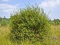 Salix aurita 007.jpg
