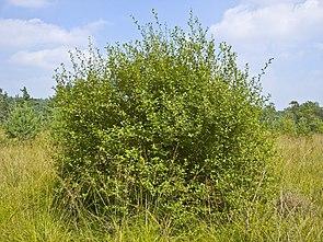 Ohr-Weide (Salix aurita)
