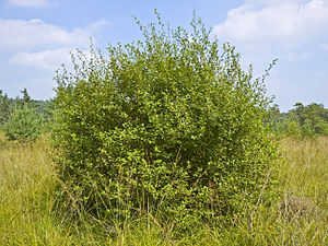 Ear willow (Salix aurita)