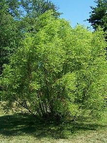 Black Willow Fruit