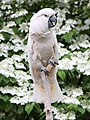 Salmon-crested Cockatoo 045.jpg