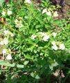 Salvia greggii.jpg