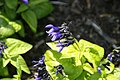 Salvia guaranitica Black and Blue 5zz.jpg