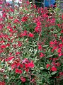 Salvia microphylla1.jpg