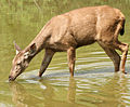 Sambar Deer Keoladeo NP.jpg