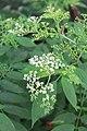 Sambucus chinensis in Wuyishan Chengcun 2012.08.24 08-29-43.jpg