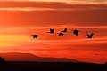 Sandhill cranes at sunset, Bosque del Apache NWR (6366883233).jpg