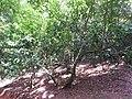 Sanjappa cynometroides-4-rosemalai-kerala-India.jpg