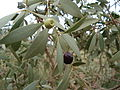 Santalum lanceolatum leaves and fruit.jpg