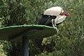 Sarcoramphus papa -Las Aguilas Jungle Park, Tenerife, Spain-8a.jpg