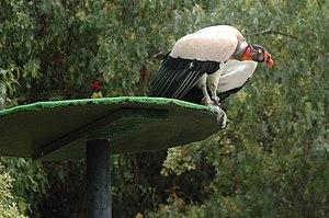 Las Águilas Jungle Park - Image: Sarcoramphus papa Las Aguilas Jungle Park, Tenerife, Spain 8a