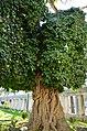 Sarmaşık Ağaç - panoramio.jpg