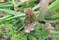 Sarracenia Mardi Gras 1zz.jpg