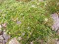 Saxifraga bryoides DSCF4975.JPG