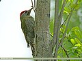 Scaly-bellied Woodpecker (Picus squamatus) (28540253346).jpg