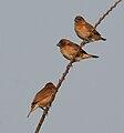 Scaly-breasted Munia (Lonchura punctulata) near Hyderabad W IMG 4851.jpg