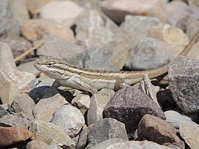 Sceloporus cowlesi adult female White Sands NM.jpeg