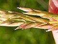 Schedonorus pratensis (3821063502).jpg