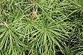Sciadopitys verticillata 'Wintergreen'.JPG