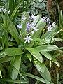 Scilla lilio-hyacinthus RHu.JPG