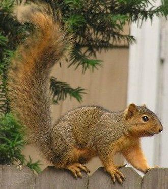 Fox squirrel - Image: Sciurus niger (on fence)