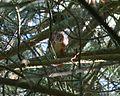 Sciurus vulgaris (Eurasian red squirrel) - Flickr - S. Rae.jpg
