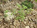 Scleranthus annuus (s. str.) sl8.jpg