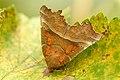 Scoliopteryx.libatrix.-.lindsey.jpg