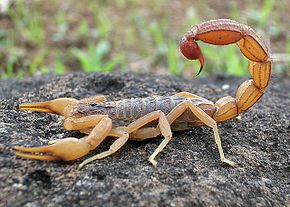 Description de l'image Scorpion Photograph By Shantanu Kuveskar.jpg.