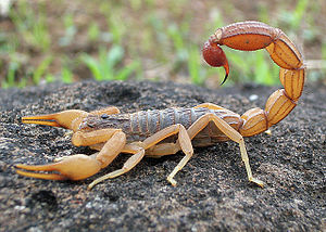 Scorpion - Hottentotta tamulus from Mangaon, Maharashtra, India