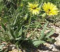 Scorzonera libanotica.jpg