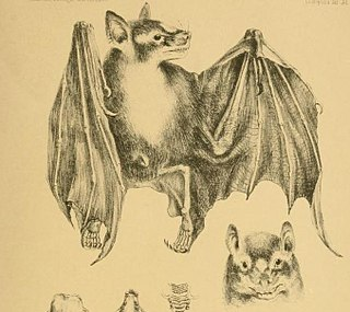 Zenkers fruit bat species of bat