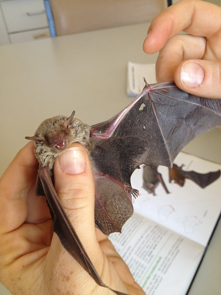 The average litter size of a Western broad-nosed bat is 1