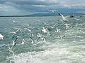 Sea Gull at Naaf River.JPG