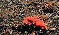 Sea Slugs (Platydoris sanguinea) (8460073565).jpg