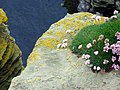Sea thrift and lichen at Noup Head - geograph.org.uk - 284578.jpg