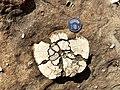 Sea urchin fossil Shueinandong.jpg