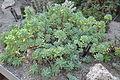Sedum-pachyphyllum.JPG