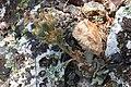 Sedum paradisum Shirtale Peak 010 (8345874759).jpg