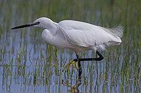 Seidenreiher Little egret.jpg
