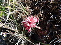 Sempervivum montanum - Vallon de la Leisse.jpg