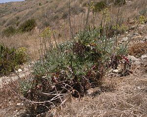 Jacobaea maritima - Mature plant at Għajn Tuffieħa, Malta